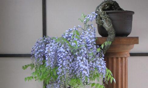 NYで盆栽が人気